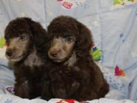 Beautiful standard poodle, 8 weeks old, solids and