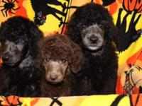 Beautiful standard poodle, 9 weeks old, Health tested