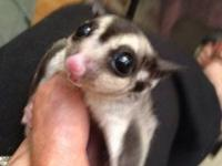Beautiful sugar gliders for sale. I have an opportunity