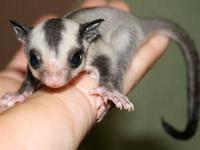 Sugar gliders are available now! We are a USDA