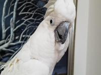Beautiful sulfur crested cockatoo is available. Sulphur