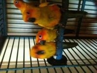 I have a beautifully marked, 4 month old sun conure. I