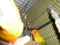 2 beautiful Sun Conures with beautiful large