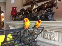 Two stunning male Sun Conures with a large Victorian