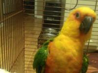 A very beautiful sunday conure, it is a surprisingly
