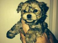 I have a litter of gorgeous Yorkie -poo angels. They
