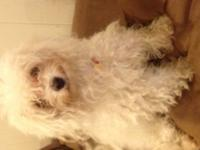 Female 2 years old Maltipoo UTD on shots except need
