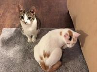 2 Manx cats (born March 22, 2017)  white calico with