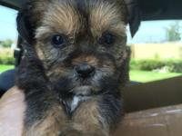 We have 6 darling t cup Morkie puppies ready for