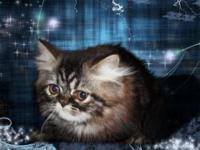 Beautifully marked brown tabby Persian kitten. He is