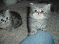 Lovely Persians - - Tabby, Crean Cameo - Dilute Tortie-