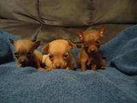 I have some Gorgeous Chihuahua Babies .Very Unique