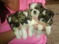 Gorgeous morkie puppies. Mom is maltese yorkie mix, dad