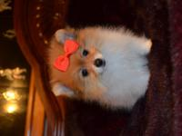 We have two very tiny Pom puppies. The female (with the