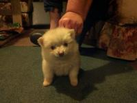 Full blooded Pomeranian Puppy White Female - Teacup