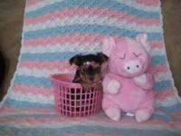 Very beautiful teacup SIZE female Yorkie puppy. She is