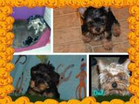 Beautiful Yorkie Puppies for sale, currently 12 wks