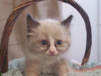 Absolutely beautiful TICA Male and Female Ragdoll