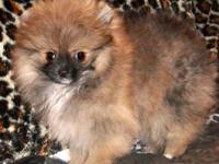 JULIE IS A TINY, BEAUTIFUL, SABLE FEMALE WHO IS AKC
