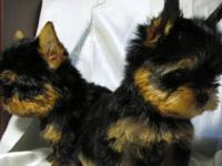 Georgous Tiny Akc Yorkie babies. 3 months old and just