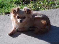 Lucy is an extremely gorgeous chihuahua,1.5 years old,