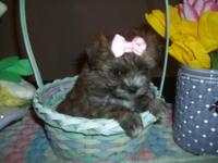 We have a very beautiful & tiny CKC female Yorkie-Chon