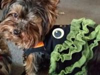 Stunning Tiny Female Yorkie, She is 1 years old. She is