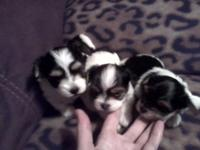 Maltese x German Yorkie = Parti Morkie puppies so Tiny