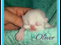 I have 3 litters of Persian Kittens born July 9th,