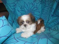 I have gorgeous white and brown shih tzu puppy Female