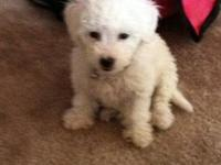 I have two beautiful toy poodle puppies ready for their