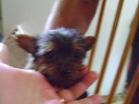 Tiny yorkie female puppy raised in my home with other