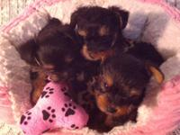 Yorkie pupsTiny baby doll deals with taking deposits