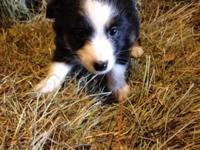 Toy aussie born 8/22/14 update on shots ready for his