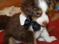 Are you looking for a new companion puppy to add to