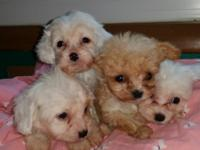 Beautiful!! Dad is a 4lb Toy poodle mom is a king