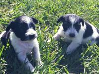 We have 2 beautiful teacup/toy female miniature