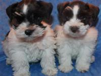Stunning heavy coated AKC toy Schnauzer young puppies.