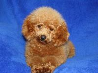 Ruby is a beautiful Toy Poodle female.She is one year