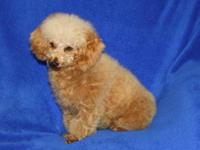 Rosie is a beautiful Toy Poodle female.She is one year