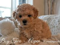 We are proud to announce we have 3 beautiful Poodle