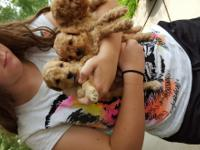 I have 2 beautiful loving poodle pups for sale 1 is