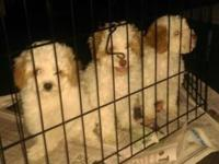 Three toy poodles, two males and one female. AKC,