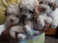 Three poodles, two males and one female. White with