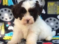 Beautiful male shih poo puppies shots to date come with
