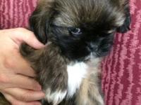 This is Teddy. He is a beautiful 7 week old Shih Tzu