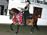 Adorable show bred dark bay Morgan gelding available