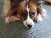 MISTY, IS A FEMALE PAPILLON, JUST OVER 5 YEARS OLD, AND