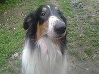 Lovely Tri-Colored (Black, White, and Tan) Collie. With