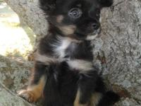 Beautiful Long Hair Female Chihuahua. Up to date on